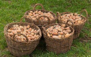 Чому гниє картопля в землі і як з цим боротися