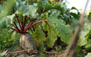 Чому не росте буряк в городі