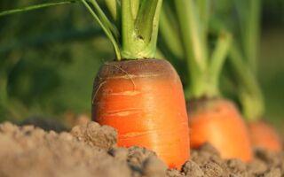 Чому морква виростає гірка