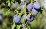 Чому гниють плоди сливи на дереві