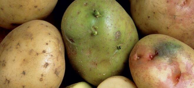 Чому картопля зеленіє при зберіганні