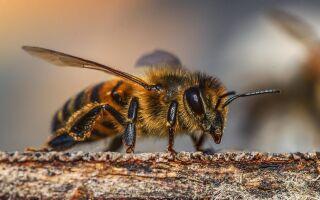 Бджоли — цікава інформація