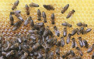 Мед — цікаві факти