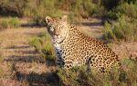 Леопарди — цікаві факти
