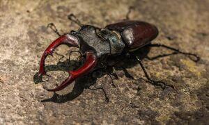 Цікаві факти про жука-оленя
