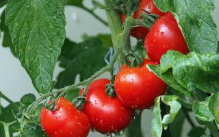 Чому помідори ростуть у теплиці і на відкритому грунті кислі на смак
