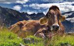 Корови — цікаві факти