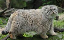 Цікаві факти про лісового кота