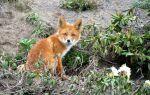 Лисиці — цікаві факти
