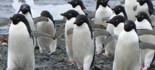 Пінгвіни Аделі — цікаві факти