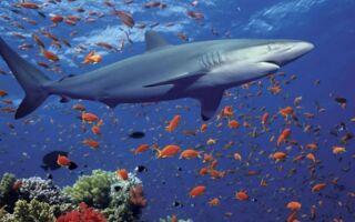 Цікава інформація про хрящеві риби — химери, акули, скати
