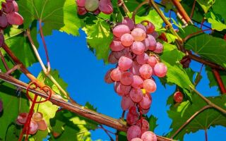 Виноград — цікаві факти