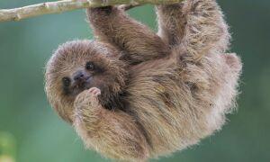 Лінивці — цікаві факти
