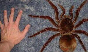 Цікаво про тарантула