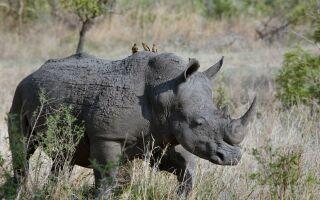 Носоріг — цікаві факти