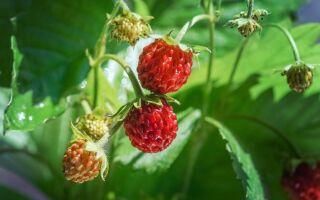Лісові ягоди — цікаві факти