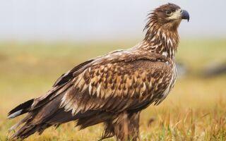 Орел — цікаві факти