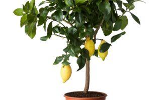 Чому жовтіє і опадає листя у лимона