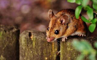 Миші — цікаві факти