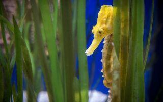 Цікаві факти про морського коника
