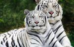 Цікаво про тигрів