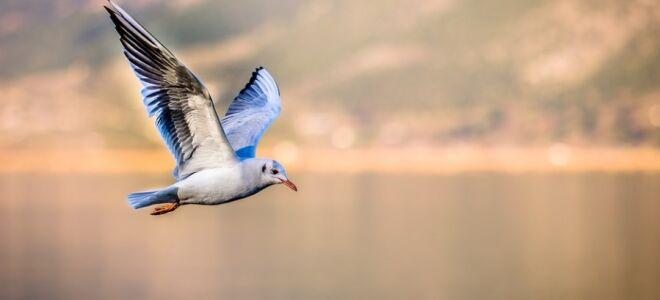 Чайка — цікаві факти