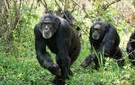 Шимпанзе — цікаві факти