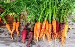 Морква — цікаві факти