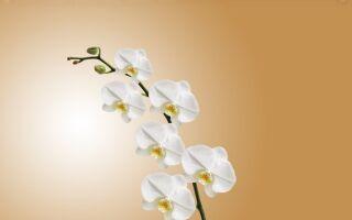Що потрібно робити, щоби в оріхідеї не обсипався цвіт