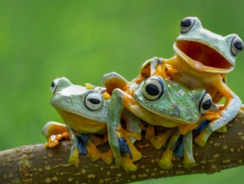 Деревні жаби