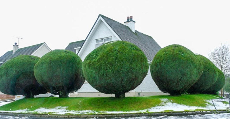 Декоративні дерева