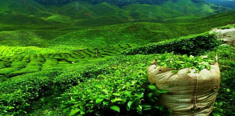 Плантація чаю