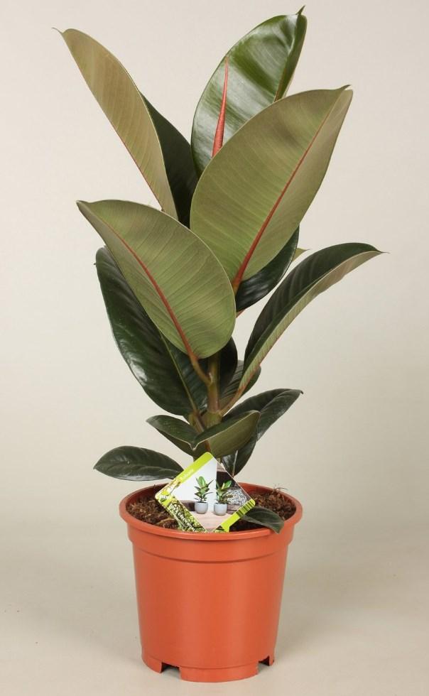 Домашня рослина
