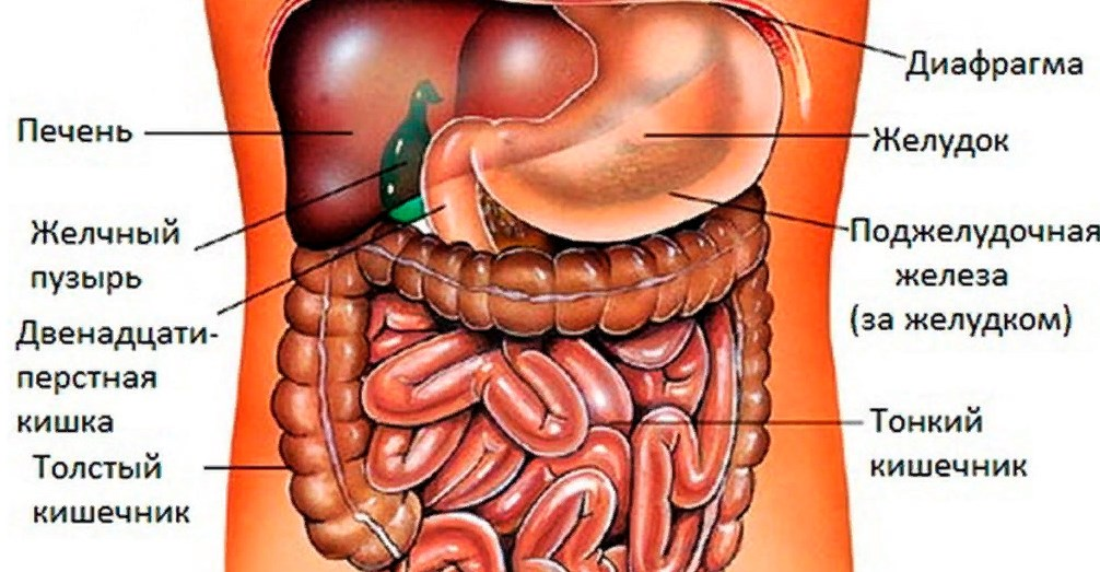 Внутрішні органи